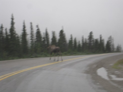 Moose in the Mist, British Columbia (wish it wasn't so blurry!)