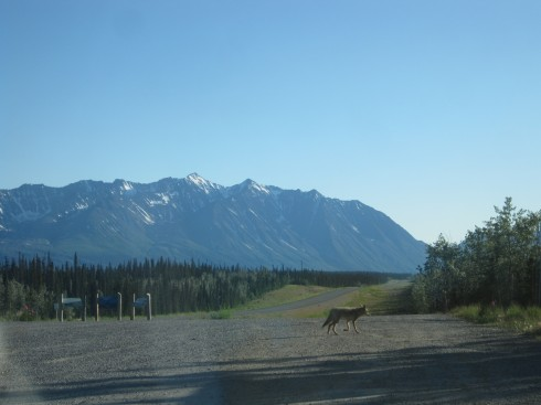 Coyote at rest stop, Yukon